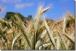 blé rotation culture