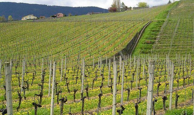 Impacts De La Sélection Variétale En Vigne Sur La Filière Et La Commercialisation